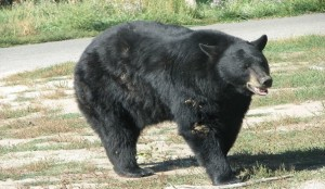 Drunk black bear 300x174